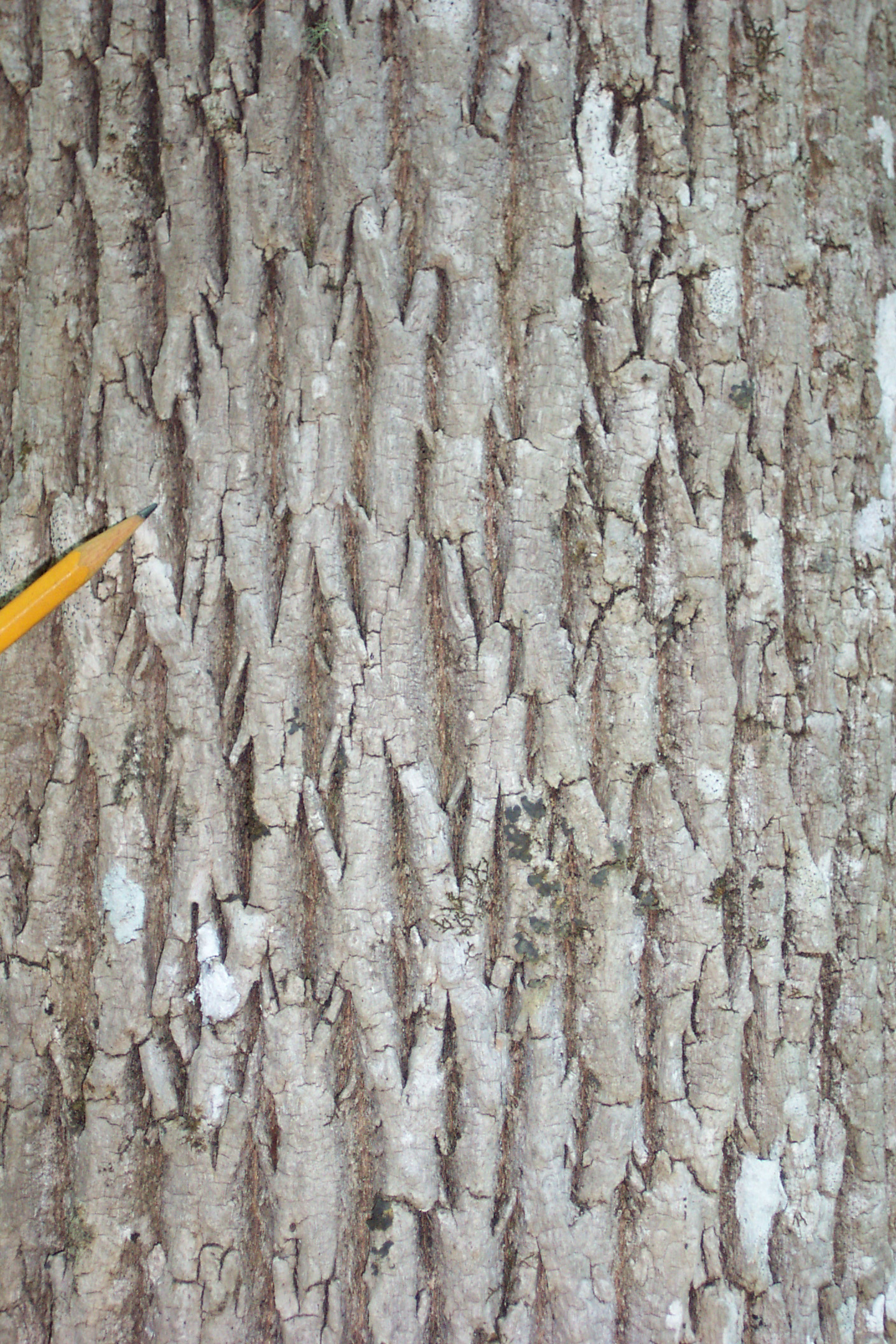 Ash Wood Bark ~ White ash bark knowing the land is resistance