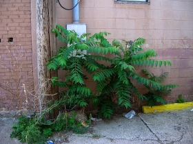 Tree of Heaven, Ailanthus Altissima, Junk tree