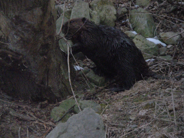A beaver snacking on some new Willow growth in Cootes Paradise
