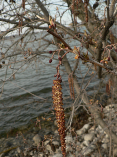 Alder catkins, female flowers, and opening leaves in the spring!
