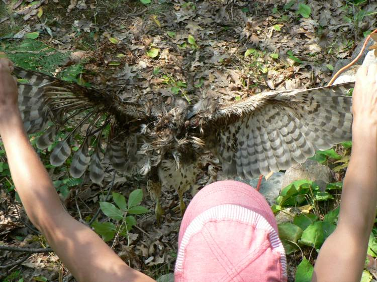 Finding a partially decomposed hawk, probably a young Red-shouldered