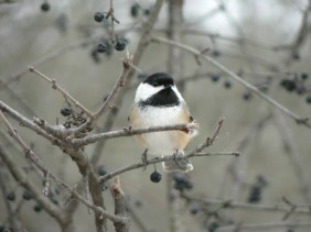 Black-capped Chickadee -- we're pretty excited about winter birds these days. How about you?